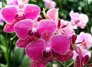 hoa-phong-lan